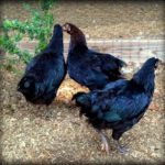 french copper marans