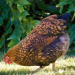 golden-laced-wyandotte-chicken